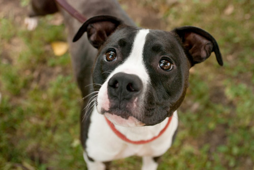 Adoptable Pit Bull Roxie