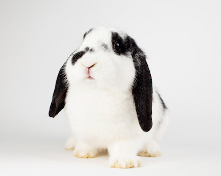 Adele Adoptable Rabbit