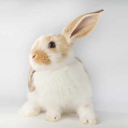 Poppet Adoptable Rabbit