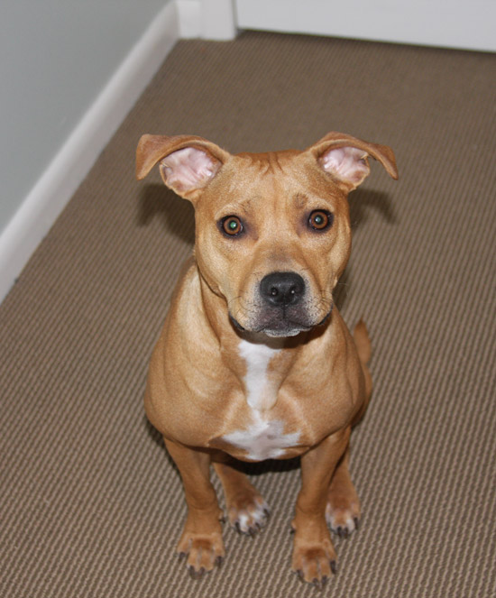 Theo the Pit Bull