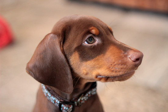 Harper the Doberman Pinscher Puppy